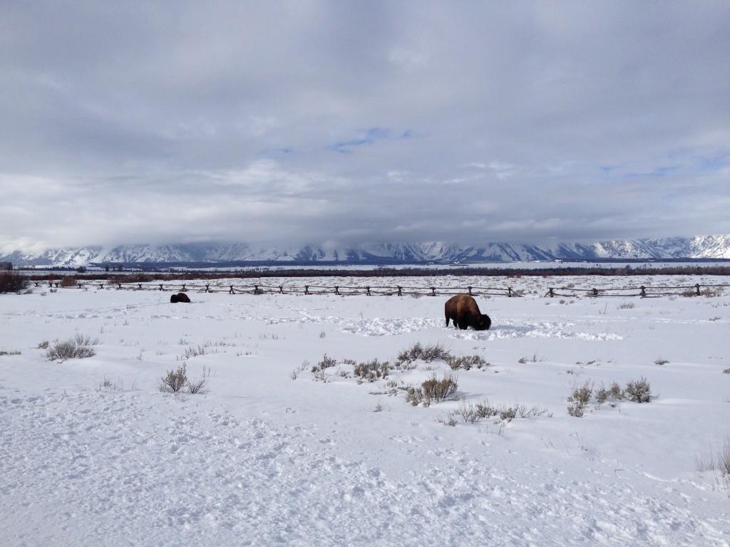 Tetons Bison