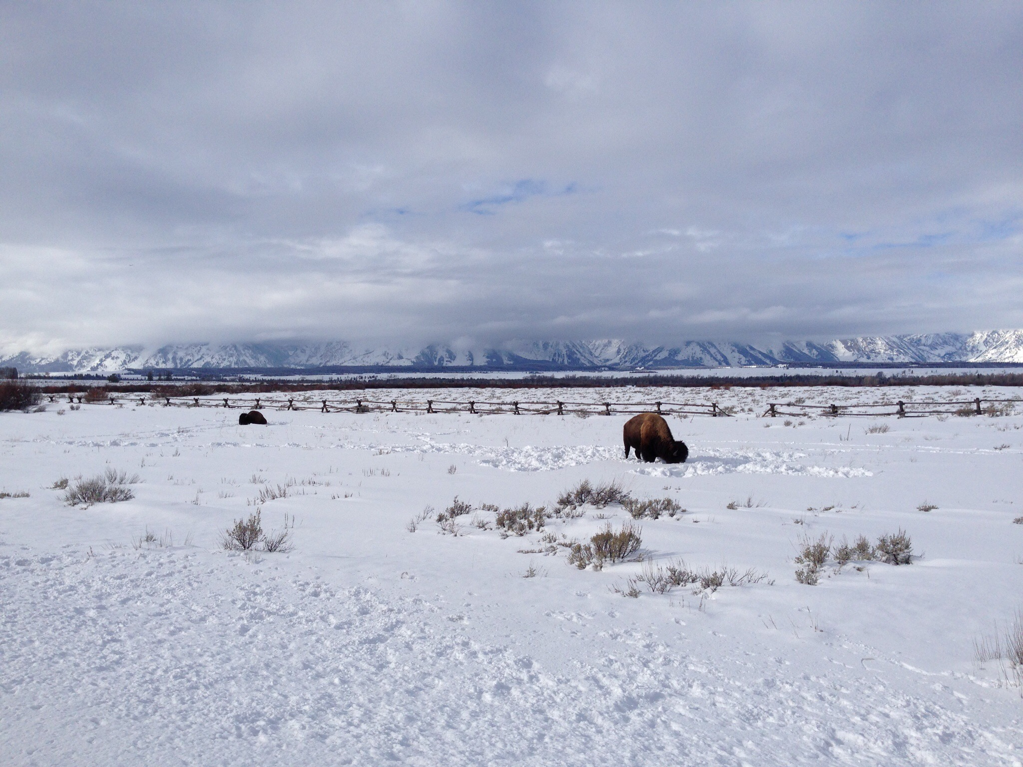 Teton Bison, January 2015